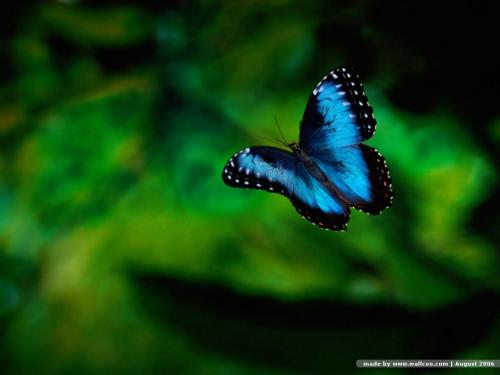 butterfly_wallpapers_butterfly_51763.jpg